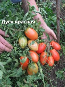 помидоры Дуся красная фото