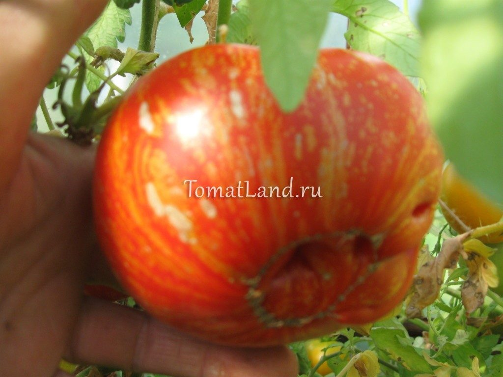 помидоры сорт фейерверк фото отзывы