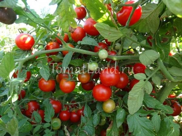 помидоры сорт Галапагос фото куста