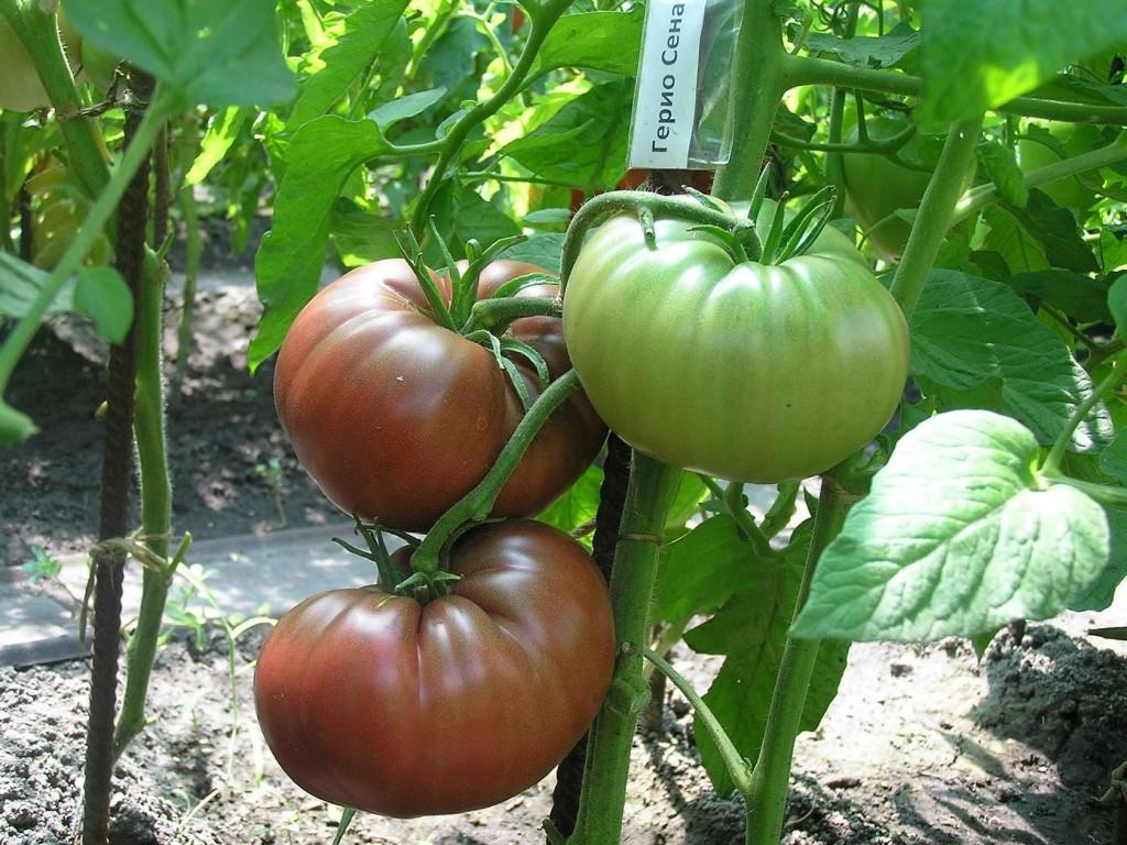 помидоры гари о сена фото
