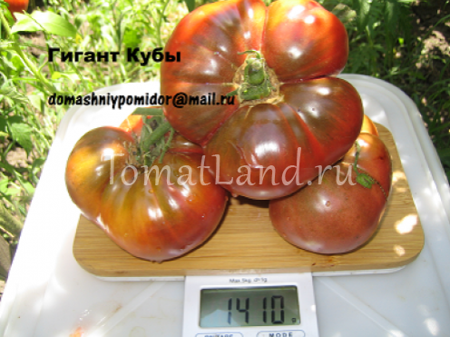 помидоры гигант кубы фото