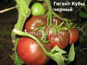помидоры Гигант Кубы черный фото