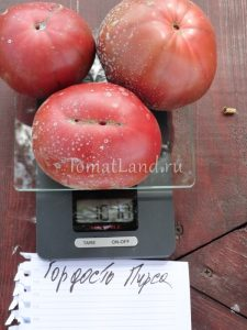 помидоры Гордость Пирса фото