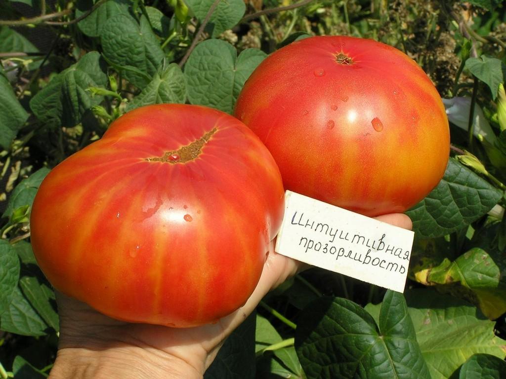 помидоры интуитивная прозорливость фото