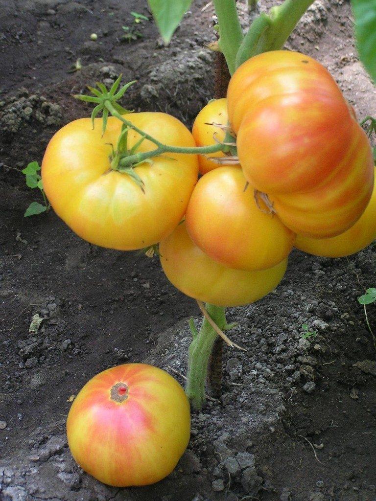 томаты интуитивная прозорливость на кусте фото