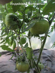 помидоры сорт Индийский полосатый фото куста