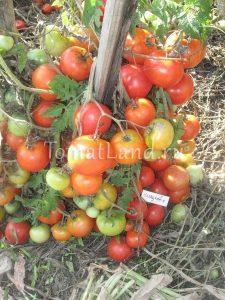 помидоры сорт Казацкий