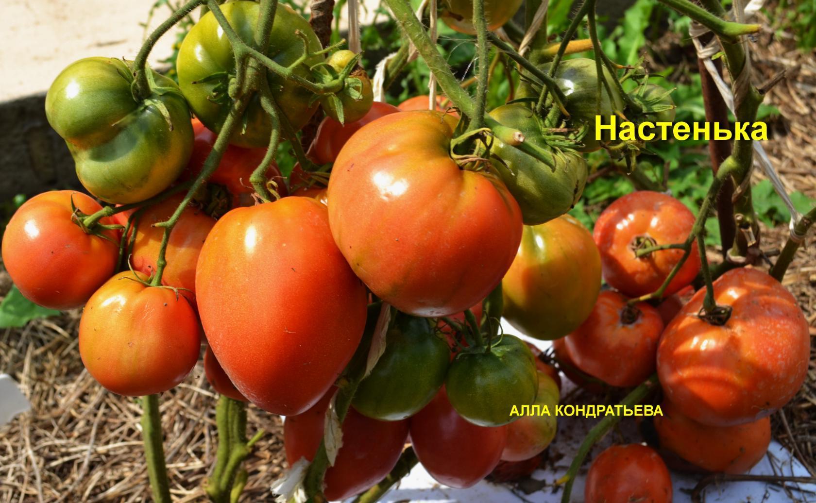 помидор настенька описание