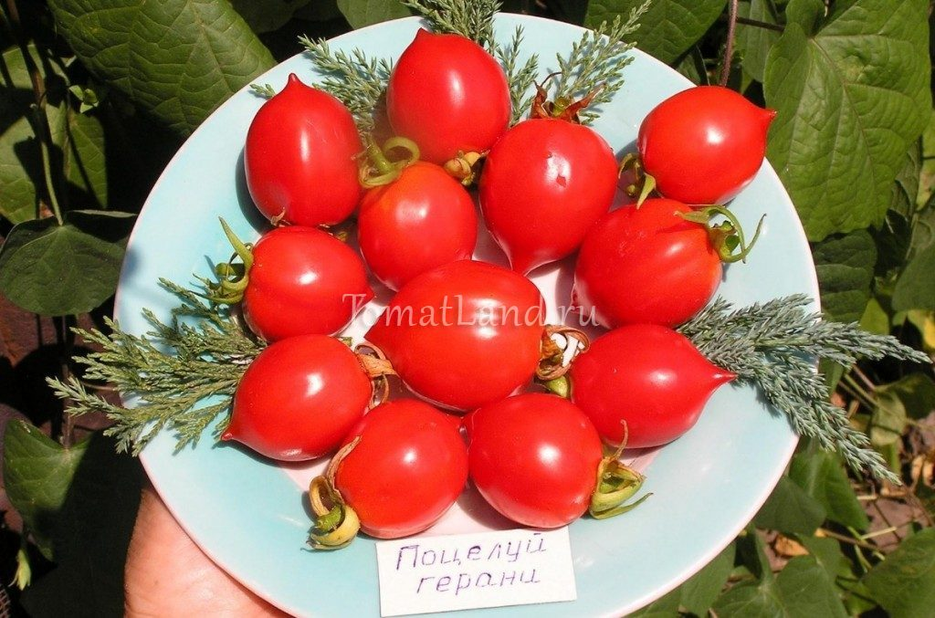 томаты поцелуй герани фото
