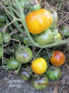 томаты примари колор фото на кусте