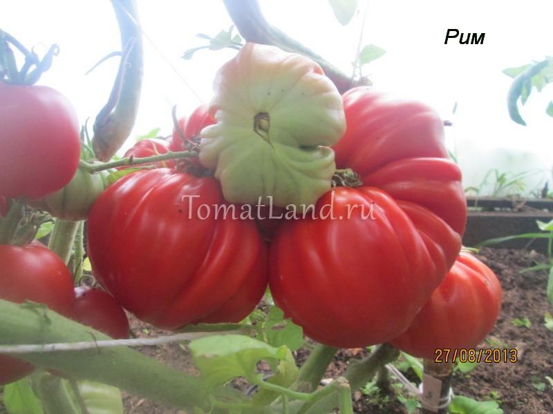 помидоры сорт Рим фото
