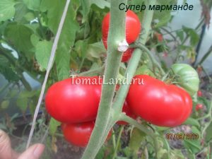 помидоры Марманде отзывы