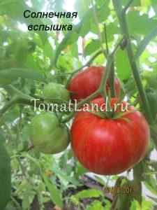 помидоры солнечная вспышка фото куста