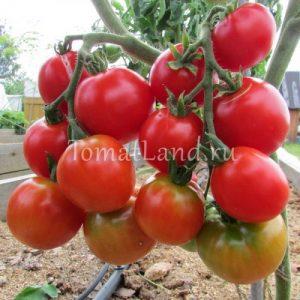 помидоры сорт Весенний хоровод фото