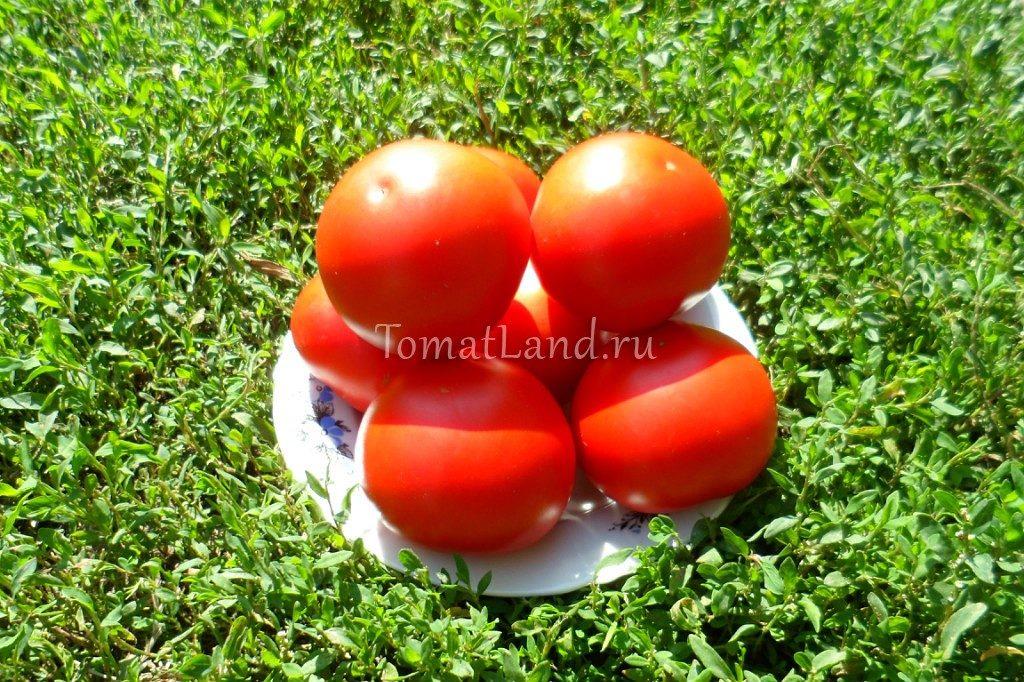 помидоры сорт Озалтин фото
