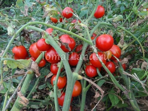 помидоры Царица севера отзывы фото на кусте