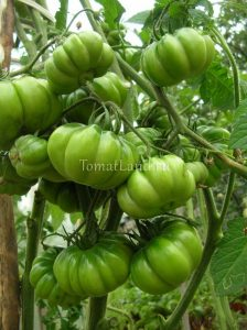 помидоры американский ребристый