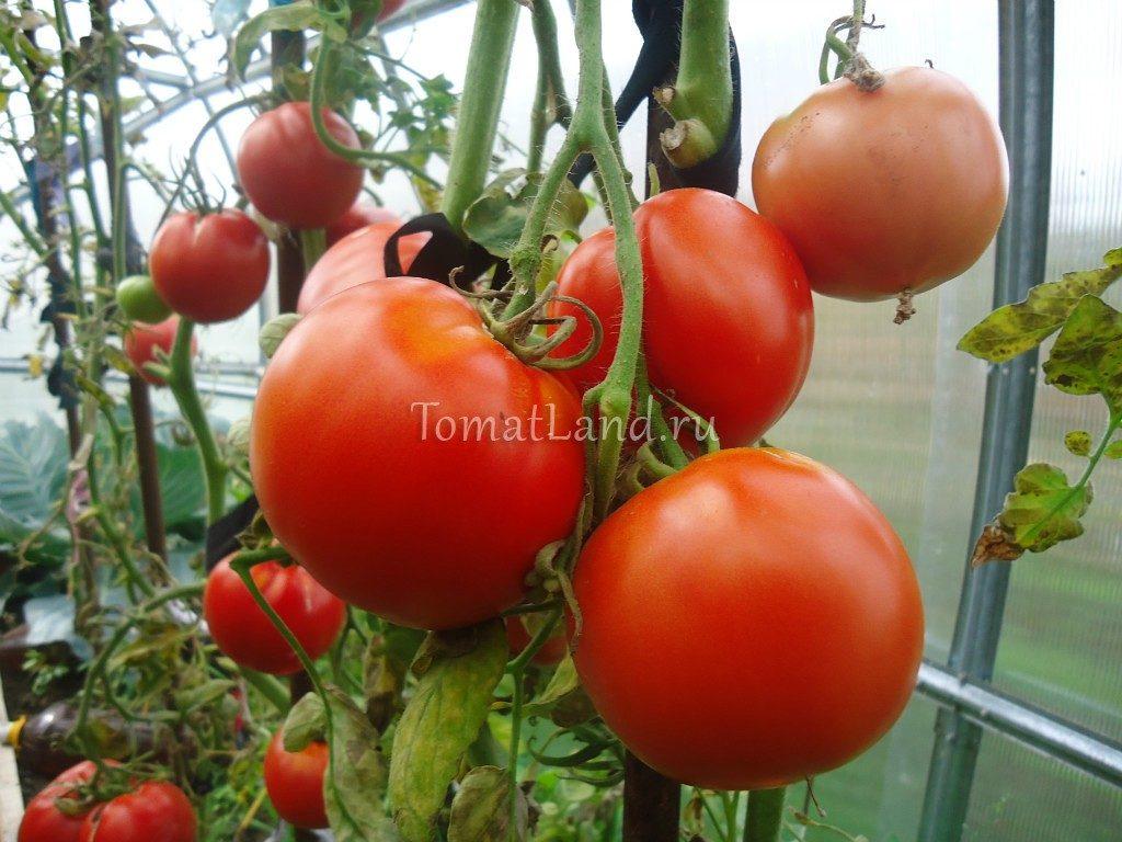 помидоры Машенька фото куста
