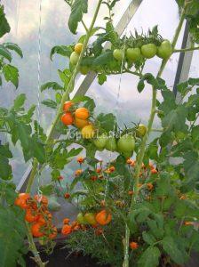 помидоры Очарование отзывы