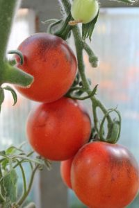 томат неясная голубая сойка