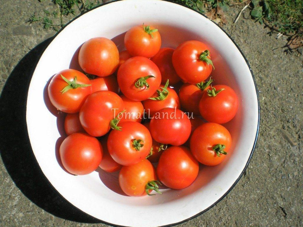 помидоры яблонька россии