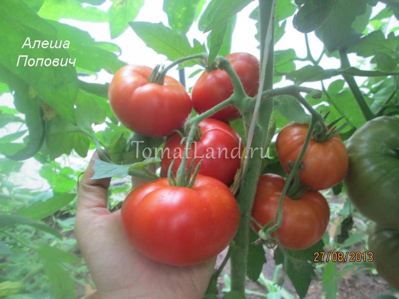 помидоры Алеша Попович фото куста