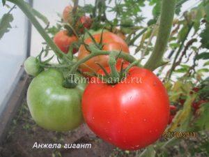 помидоры Анжела Гигант