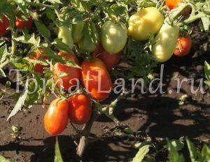 помидоры банан красный фото на кусте