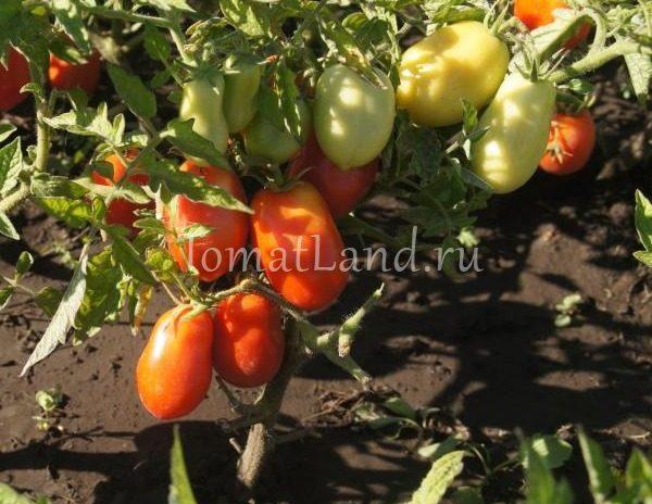 помидоры банан красный фото на кусте отзывы