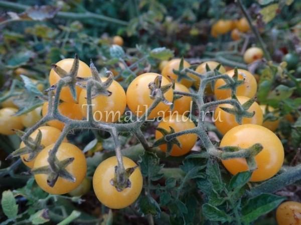 помидоры белая смородина фото спелых плодов