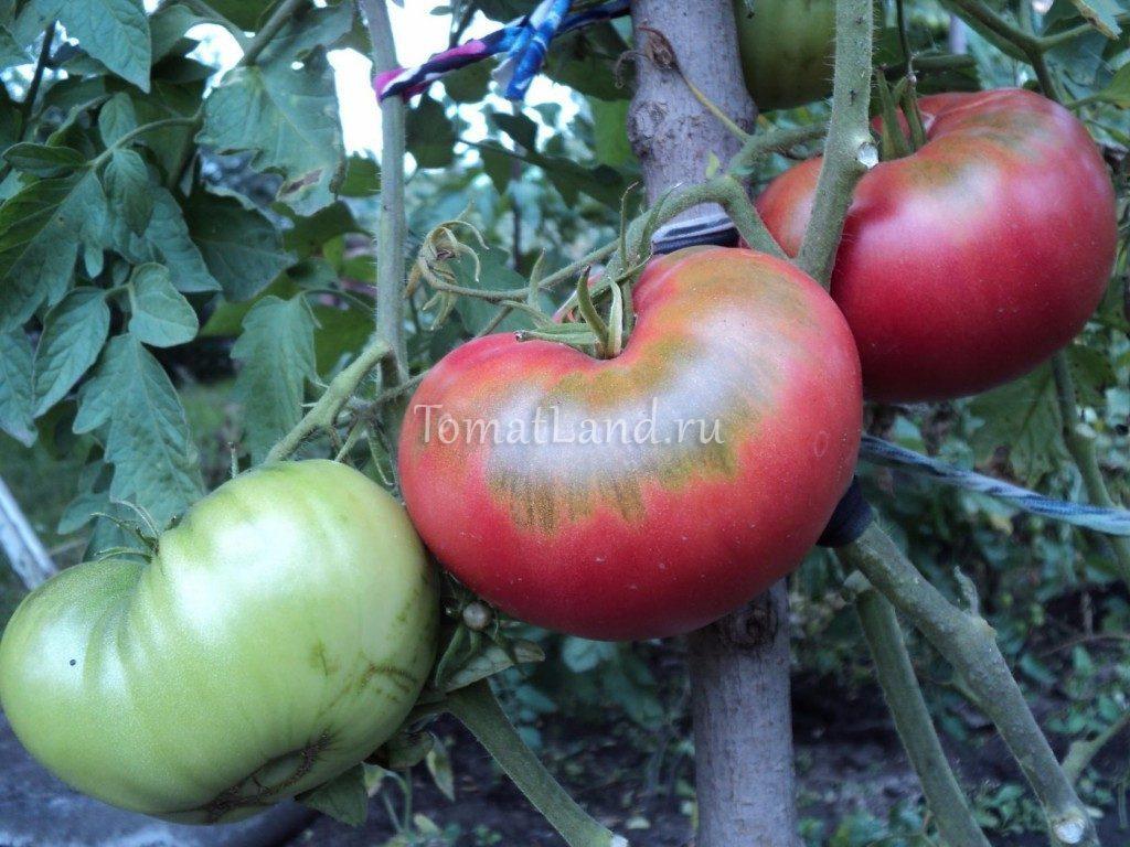 помидоры бийский розан