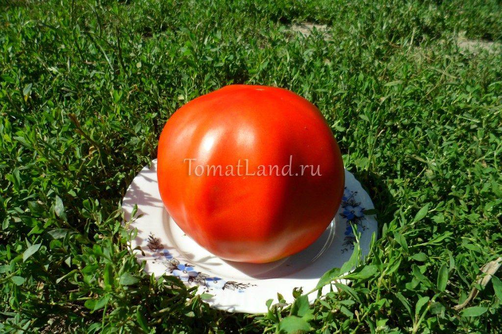 помидоры Большая девочка фото спелых плодов