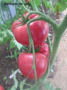 помидоры Болгарское чудо