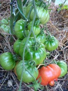томат сорт каприкоза фото