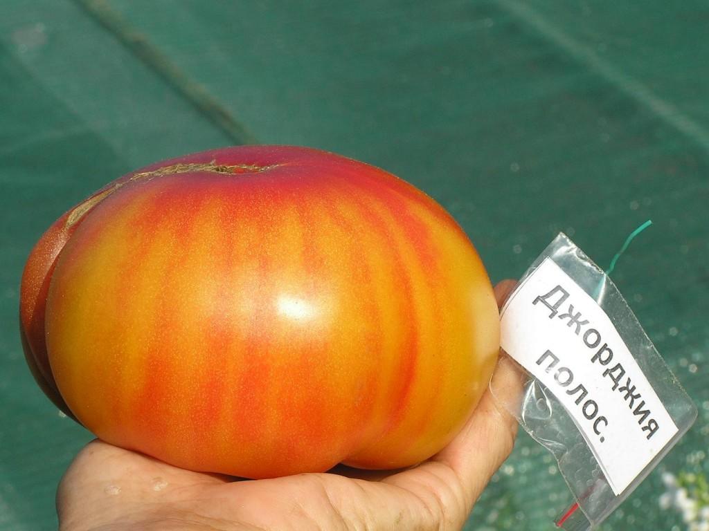 томаты джорджия полосатая фото