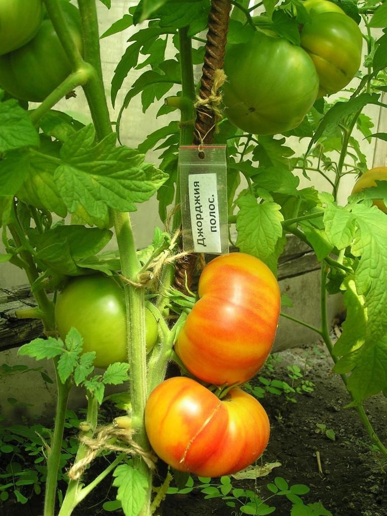 томаты джорджия полосатая на кусте фото