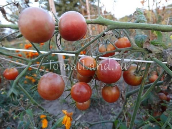 помидоры Диковинка фото отзывы