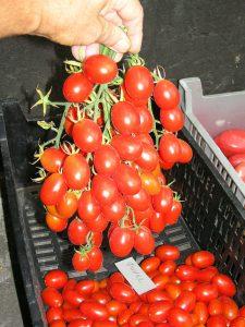томат финик красный
