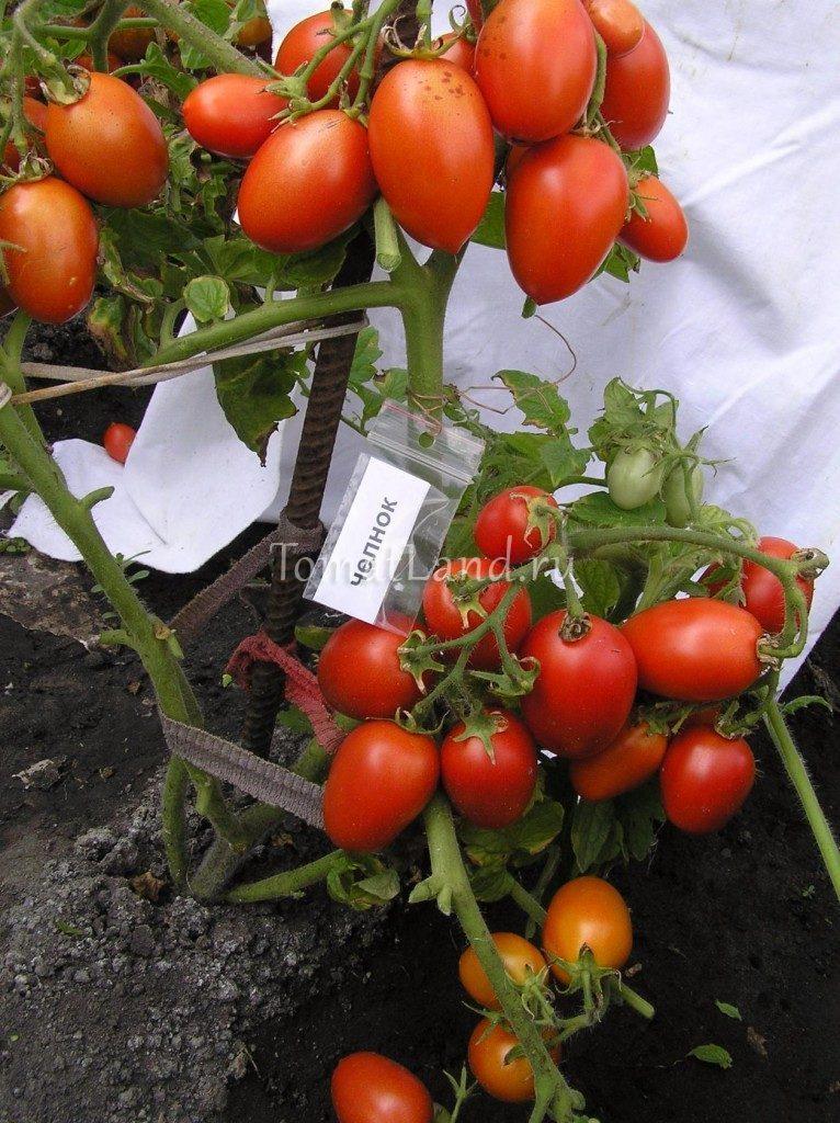 помидоры челнок фото отзывы