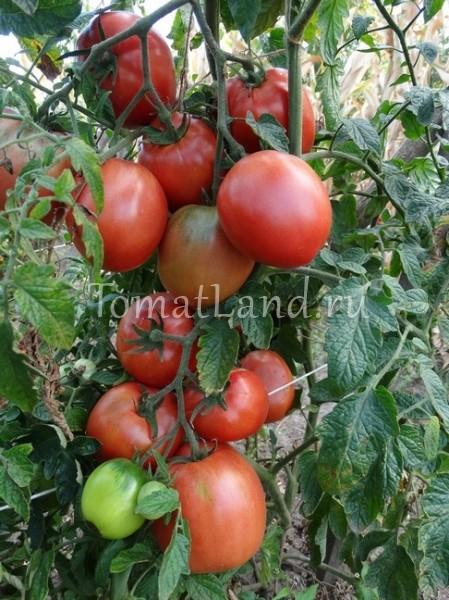 помидоры киевлянка
