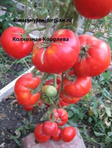 томат колхозная королева
