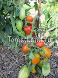 помидоры сорт Костер
