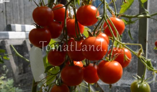 помидоры вишня красная фото