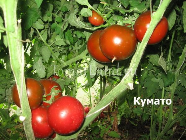 помидоры сорт Кумато фото спелых плодов