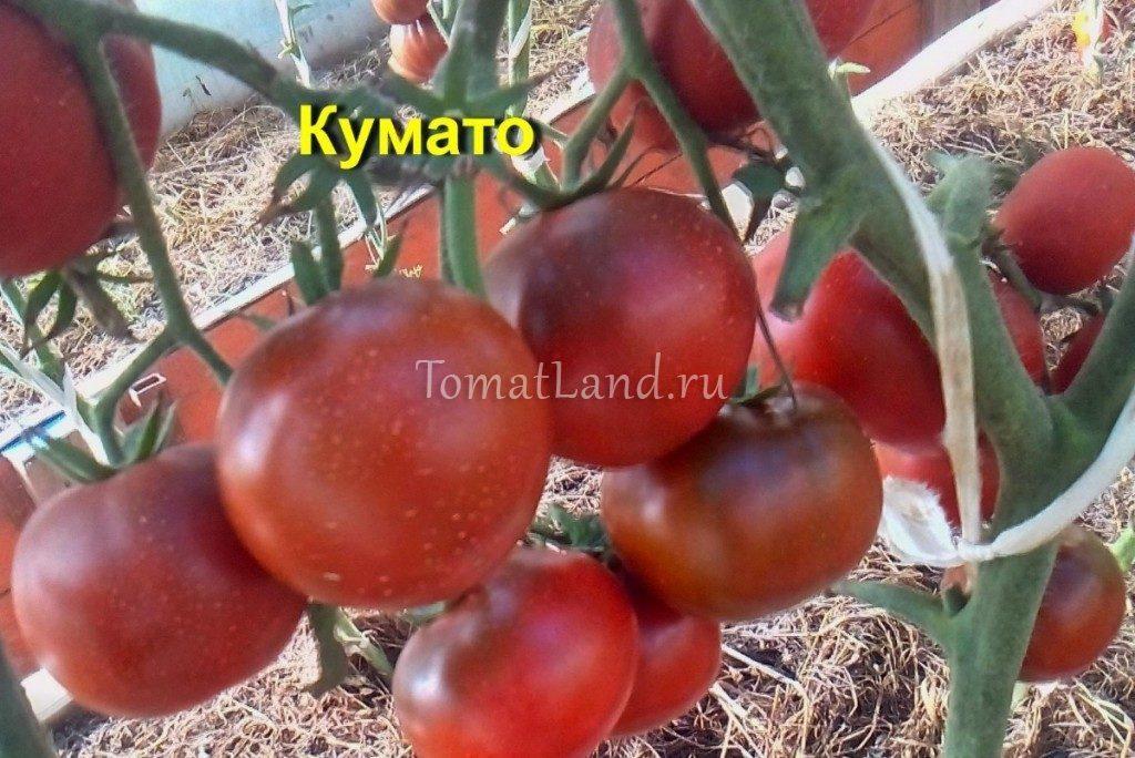 помидоры кумато на кусте фото