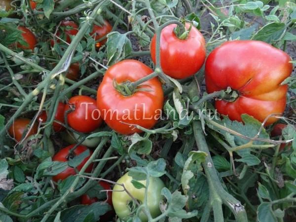 помидоры кувалда фото спелых плодов