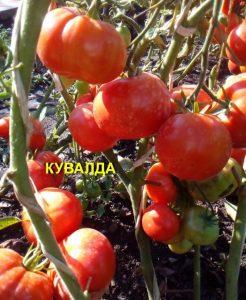 помидоры кувалда фото на кусте