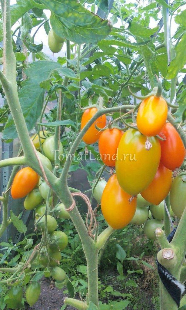 помидоры Лисичка на кусте фото