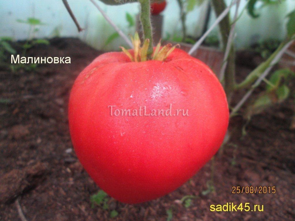 помидоры Малиновка фото спелых плодов