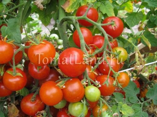 помидоры Мексиканский мед фото спелых плодов